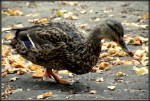 Entenfütterung
